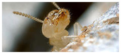 Different Ways To Get Rid Of Termites In Your Home By Yourself