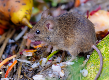 The Dangers of House Mice and Rats